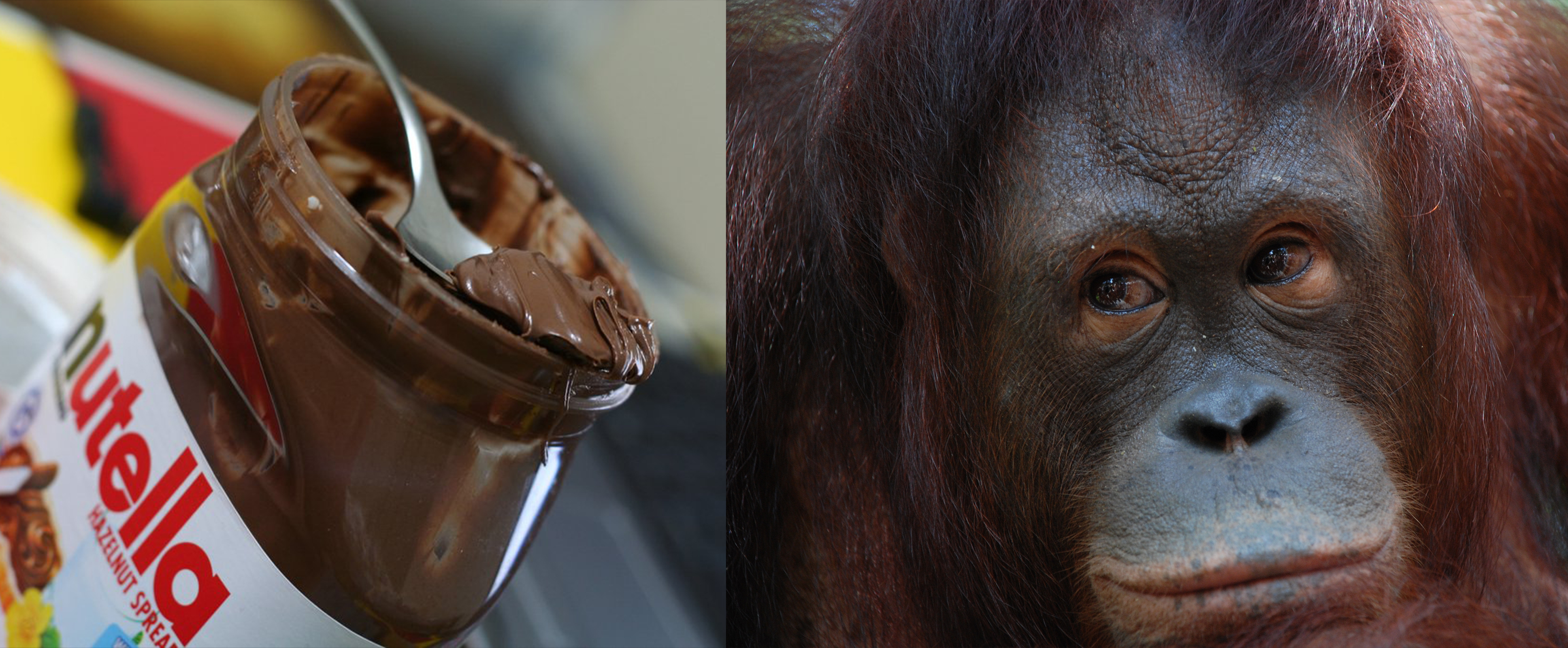How your favorite chocolate is killing orangutans in Malaysia—and what you can do to avoid it.